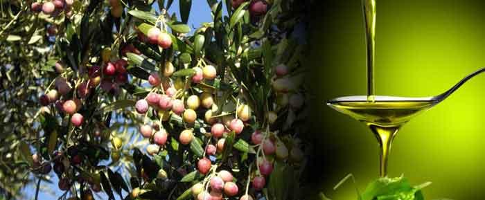Arbequina Olivenöl, Eigenschaften