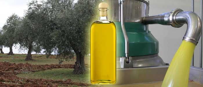Produktion von Olivenöl: das Sammeln und Pressen