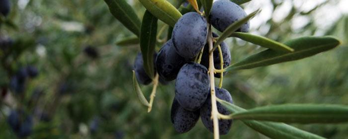 Wovon sich schwarze Oliven von den grünen  unterscheiden?