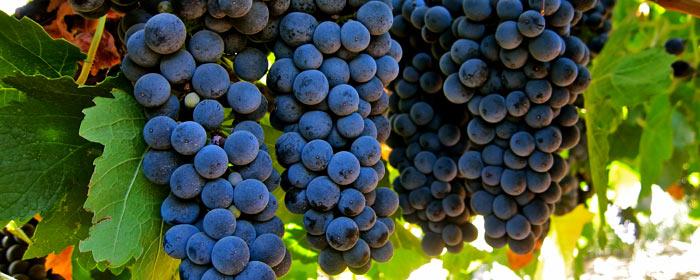 Syrah – ein Wein mit Charakter
